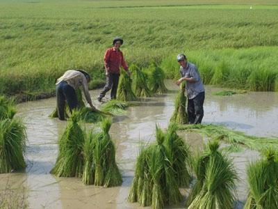 Đổi 2,1 vạn ha đất lúa để nuôi thuỷ sản và trồng cây khác