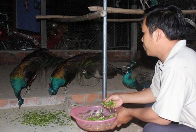 Người mê theo vũ điệu chim công