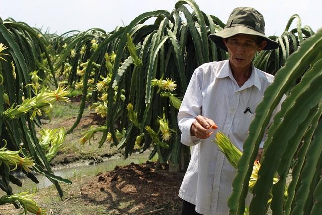 Xử lý nhóm người Trung Quốc mua hoa thanh long trái phép