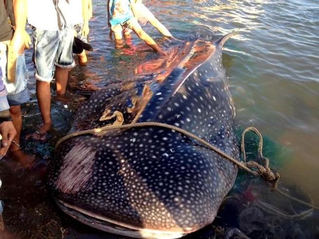 Cá nhám voi 'khủng' dạt vào bờ biển Khánh Hòa
