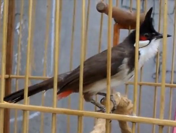 Truy tố hai người trộm chim cảnh của giám đốc sở 'tuổi 30'