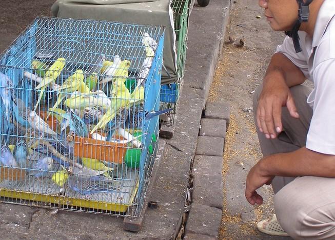 Nuôi chim cảnh phải có chứng nhận nguồn gốc