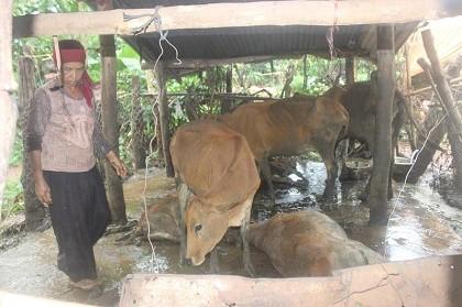 Hoang mang vì ngủ dậy thấy bò chết hàng loạt