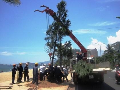 Phố biển Nha Trang trồng cây thông Caribe