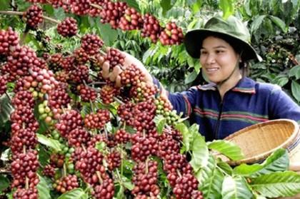 'Vận đen' của hạt cà phê Việt Nam