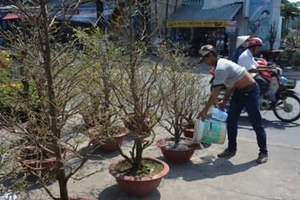 Hoa tết 'khổ' với nắng nóng Sài Gòn