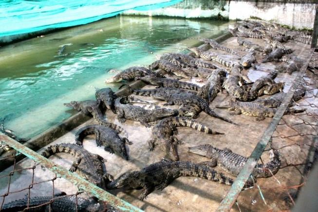 Bị bỏ đói lâu ngày, hàng vạn con cá sấu 'thoi thóp'