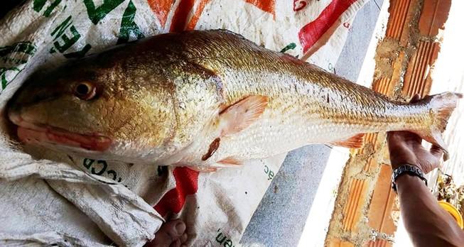 Ngư dân Khánh Hòa câu một con cá nghi là Sủ vàng