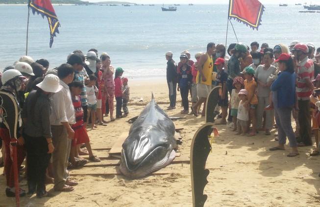 Cá voi dài hơn 6 m dạt vào bờ biển Phú Yên
