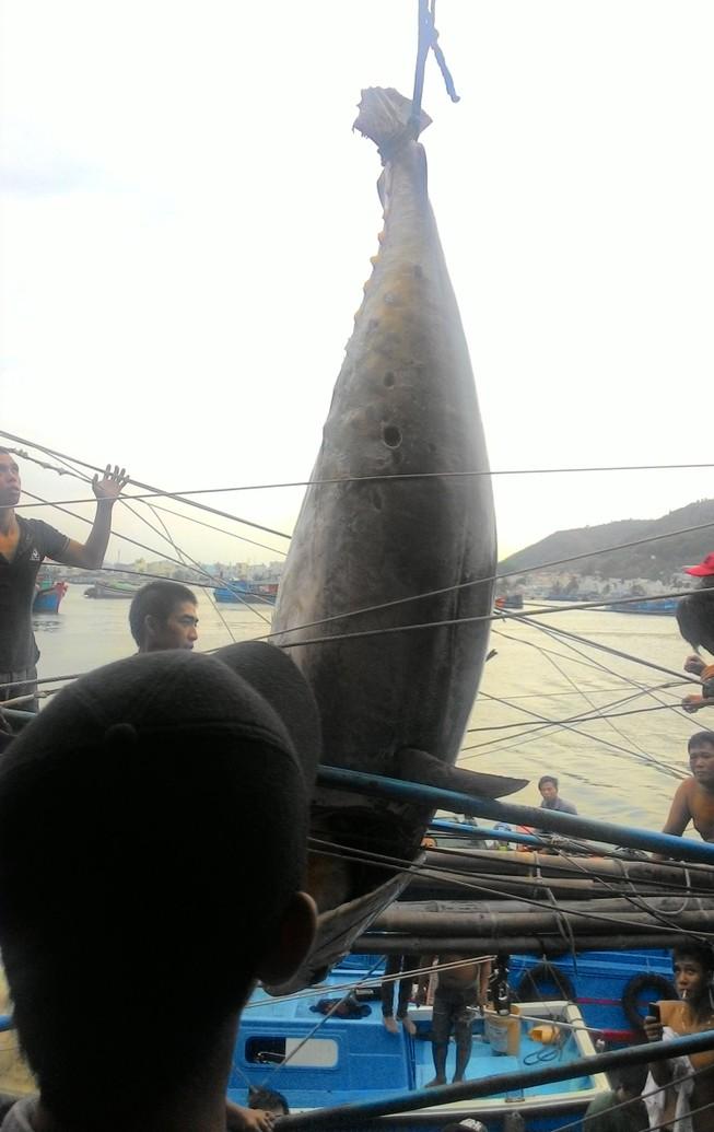 Ngư dân bắt được cá ngừ vây xanh quý hiếm nặng hơn 300 kg
