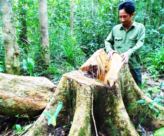 Bắt giam người chủ mưu chặt 13 cây gỗ quý