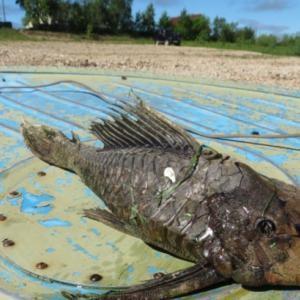 'Cá quái vật' xuất hiện tại Nga
