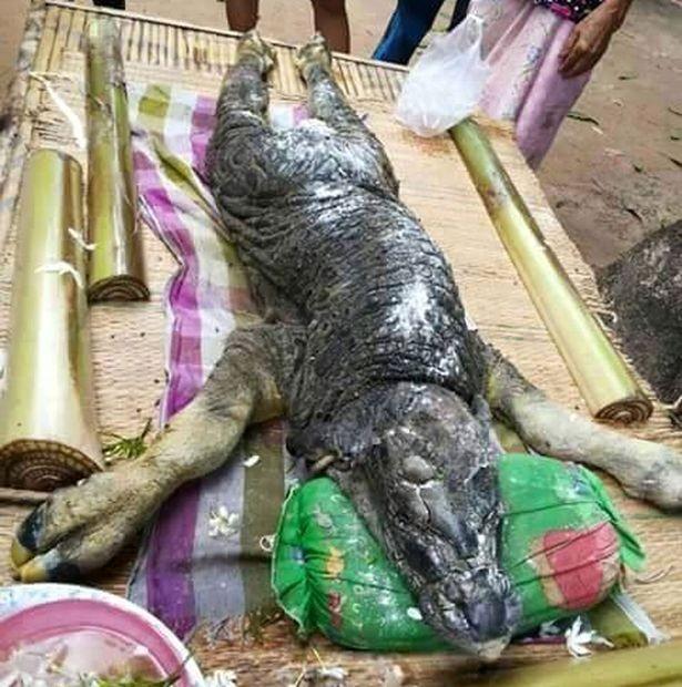 Con vật lai nửa trâu nửa cá sấu kỳ dị