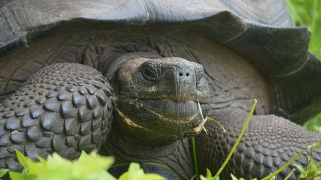 Phát hiện thêm loài rùa mới tại 'đảo rùa khổng lồ'