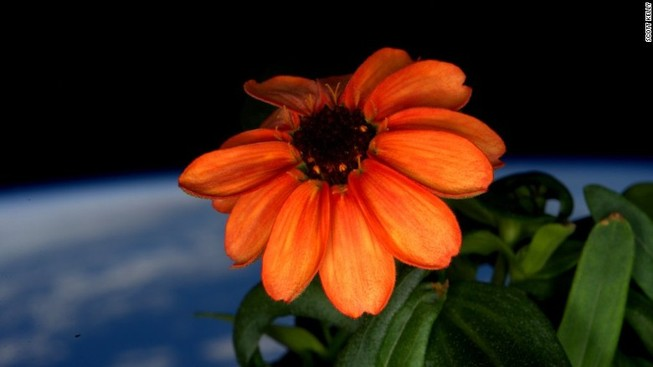 Bông hoa hướng dương đầu tiên nở trên vũ trụ