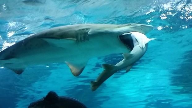 Cá mập ăn cá mập ở công viên nước Hàn Quốc