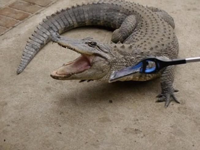Cá sấu cắn điện thoại iPhone 7, điều gì sẽ xảy ra?