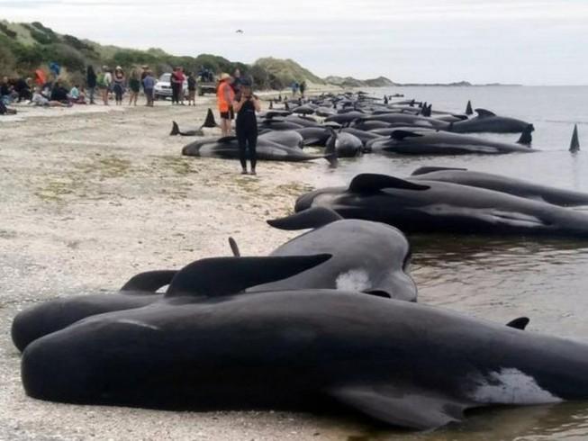 Hơn 400 cá voi mắc cạn bí ẩn trên bờ biển New Zealand