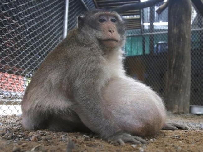 Khỉ quá béo, phải ăn kiêng giảm cân