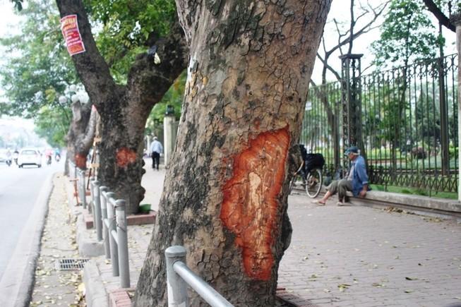 Hà Nội: Nhiều phố có hàng xà cừ cổ thụ bị vết 'chém' lạ