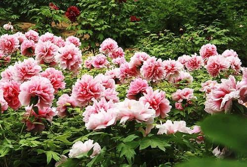 Lạc Dương-thiên đường hoa mẫu đơn
