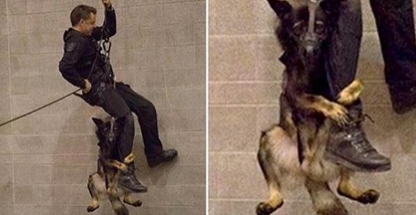 Chú chó cảnh sát 'run như cầy sấy' trong bài tập khó