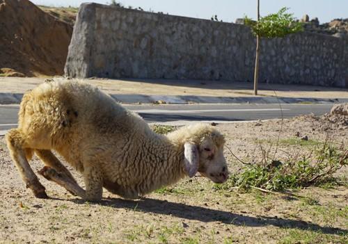 """Cừu, dê gục ngã ở """"rốn hạn"""" Ninh Thuận"""