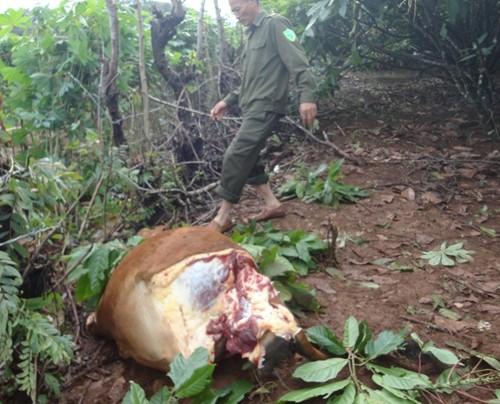 Con bò bị kẻ gian lấy mất 4 cái đùi