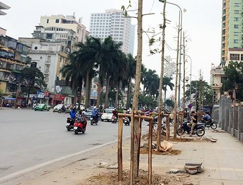 Hà Nội sẽ trồng mới 247 cây Lát hoa trên phố Nguyễn Chí Thanh