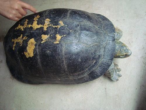Bắt được rùa dài hơn nửa mét, có nhiều hình lạ trên mai