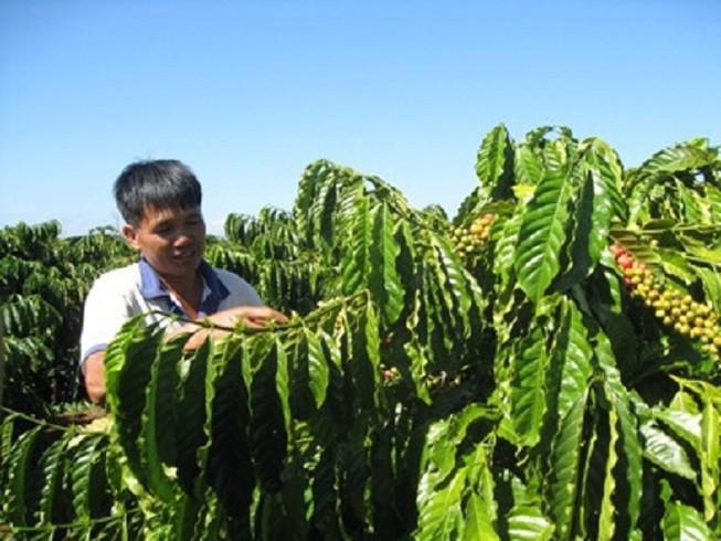 Agribank chủ lực đầu tư nguồn vốn tái canh cây cà phê