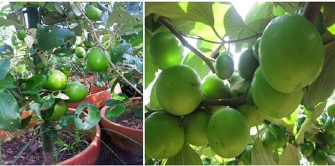 Giống táo mới trồng trong chậu cho nhiều trái