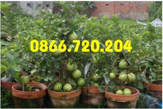 Giống ổi siêu trái trồng trong chậu
