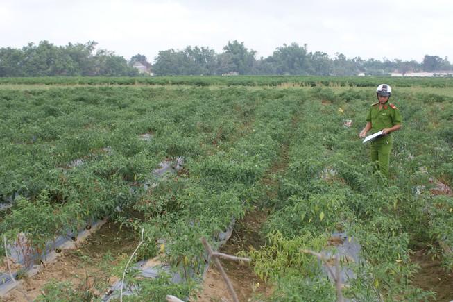Bị phá hơn 100 cây ớt, một nông dân mất trắng 10 triệu đồng