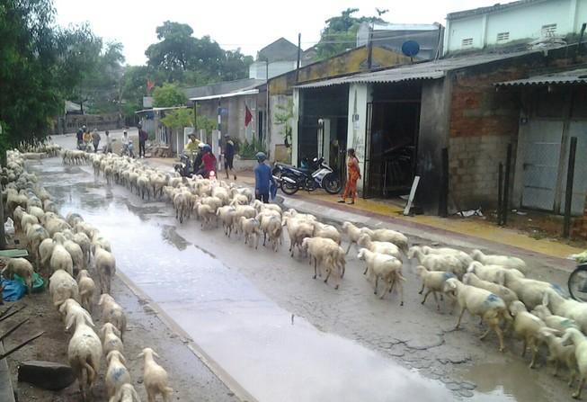 Thêm cơn mưa giải hạn cho Ninh Thuận