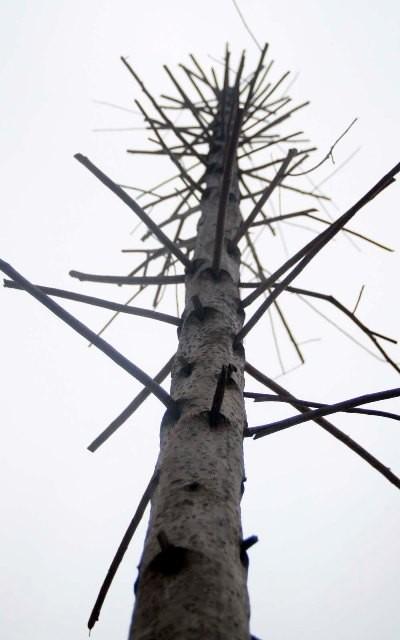 Hàng cây mỡ trên đường Nguyễn Chí Thanh - Hà Nội chết khô