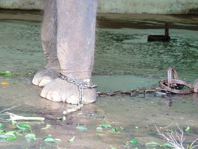 Tháo xích cho Voi ở vườn thú Hà Nội