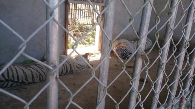 Hổ nuôi vồ đứt cánh tay một thiếu nữ