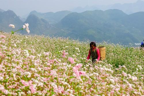 Hà Giang tổ chức lễ hội hoa tam giác mạch