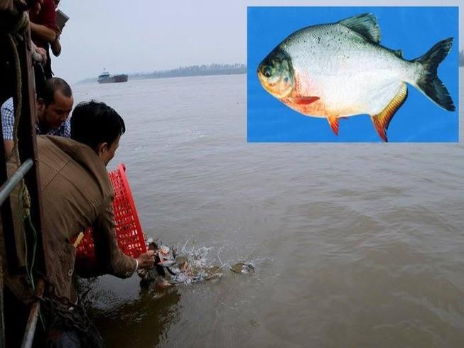 Cá chim trắng phóng sinh là con cá gì?