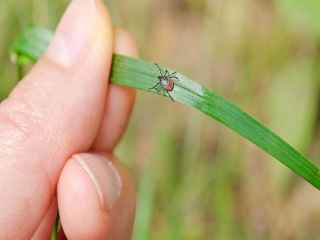 Bị viêm não tủy chỉ từ vết cắn của bọ ve