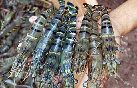 Tôm, cá Việt: coi chừng bị nước ngoài tẩy chay