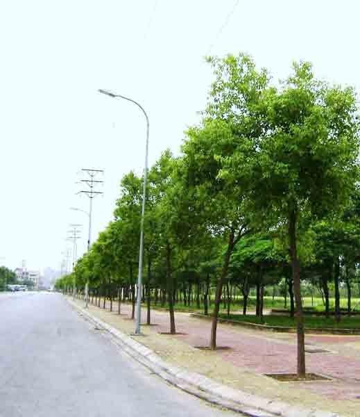 Thay cây long não trên đường Tân Hóa - Lò Gốm