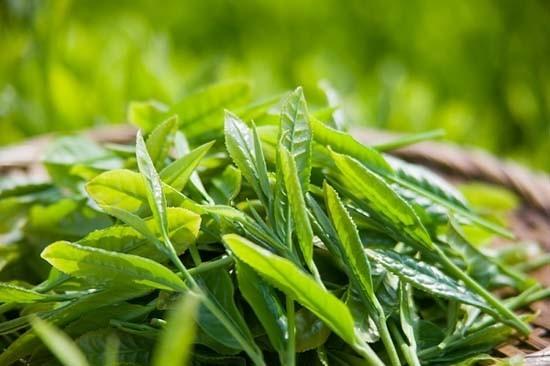 Đài Loan 'siết' trà nhập khẩu từ Việt Nam