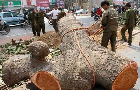 Kết luận thanh tra vụ chặt cây xanh Hà Nội: Chỉ một trưởng phòng bị xử nặng