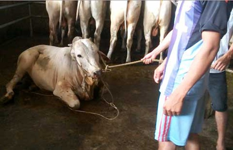 'Tuyên chiến' với bò bơm nước!