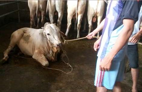 Thương lái di chuyển địa bàn giết mổ bò