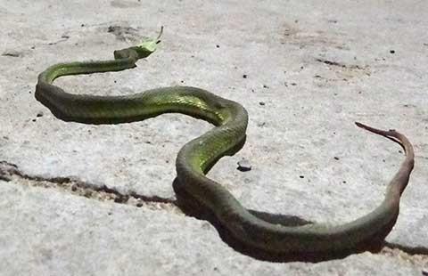 Sài Gòn xuất hiện nhiều rắn