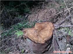 Khởi tố năm kẻ chặt hạ 200 m3 gỗ sa mu đỏ quý hiếm
