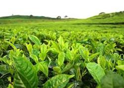 Đài Loan 'minh oan' cho trà ô long Việt Nam